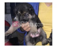 German Shepherd puppies for sale Male & Female bot