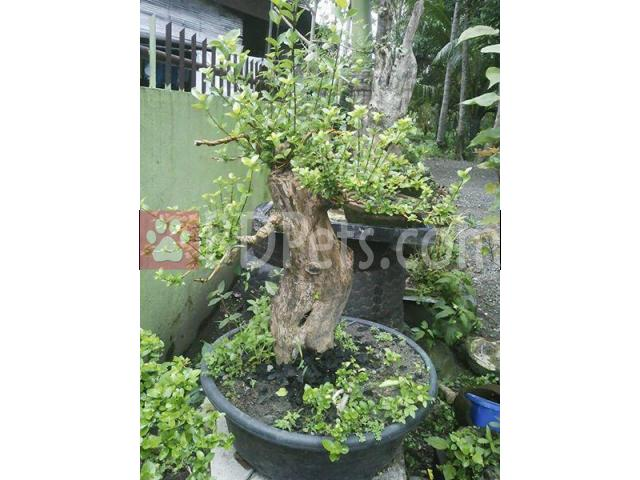 Bonsai for sale..Large Abgao