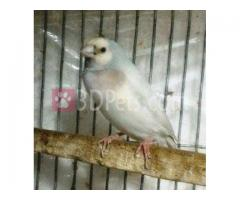 Some exclusive full adult Gouldian finch for sale.