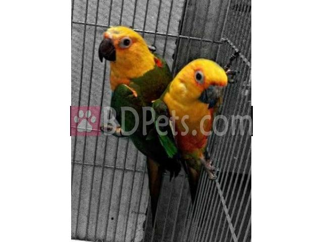 Jenday Conure Confirm Adult Pair
