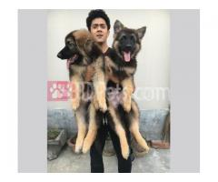 European working line German shepherds for sale