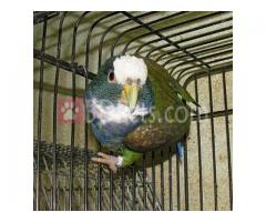 White Headed Pionus full adult male