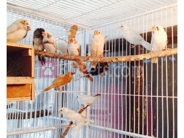 Some quality Finch ( Fringillidae) For Sell at low