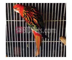 Single Adult Female Red Opaline Rosella (Platycerc