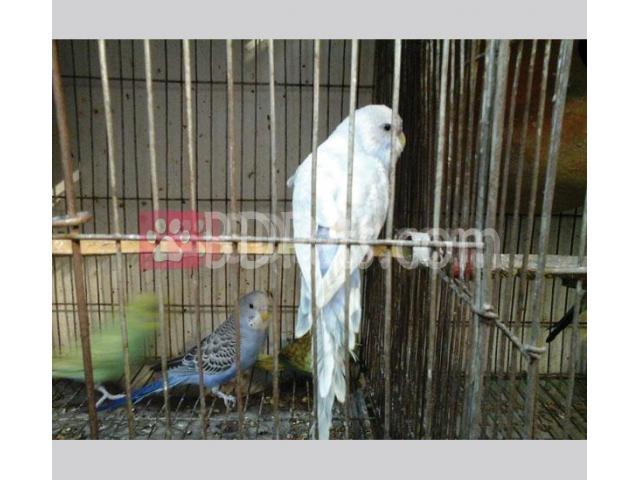 Some good Budzriger birds sell