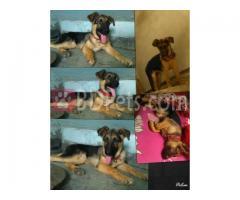3 months old german shepherd dog puppy
