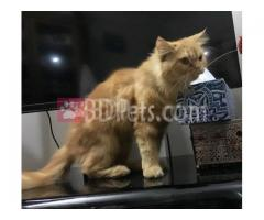 Pure breed Persian female for sell