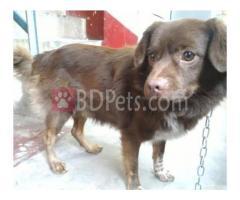 Retriver & spitz cross breed puppy.