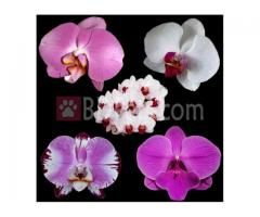 Phalaenopsis Mixed colours