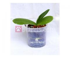 Phalaenopsis Mixed colours
