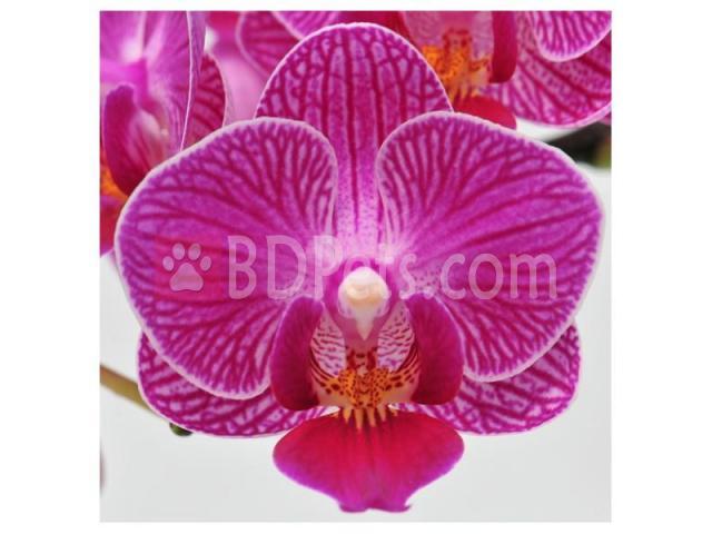 Dtps. Ruey Lih Fairy 'R.L' - Flowered