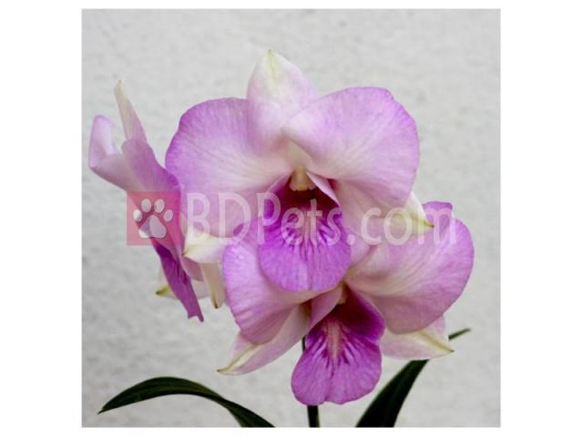 Dendrobium PK Pearl BS