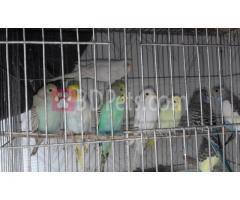 16 pice budgerigar Bird sell