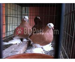 Yellow Vogtland White Head Pair