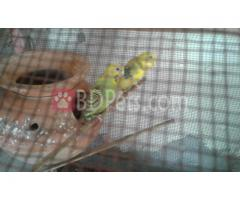 2 Budgerigar pair with cage,baby or egg