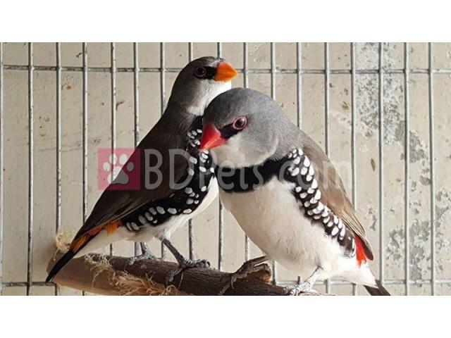 Diamond fire tail running breeding pair