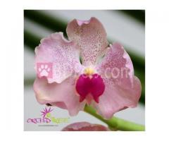 Vantui (Semiterete Vanda) Pink