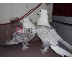 Pigeon shartin