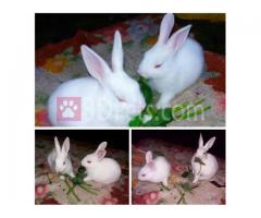 Rabbits (Male-Female)