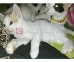 Baby Cat Sale