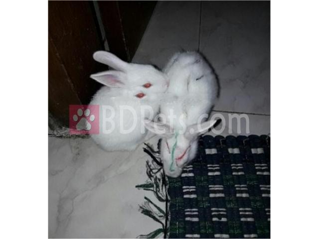 1 pair rabbit
