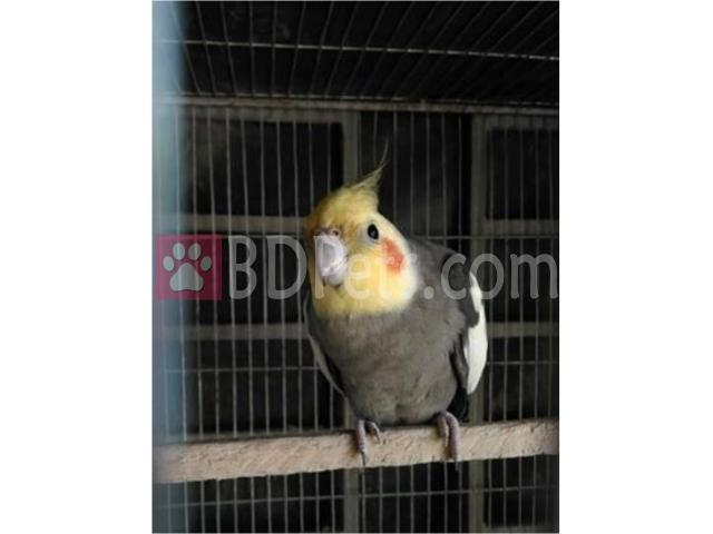 Breeding cockatiel Male