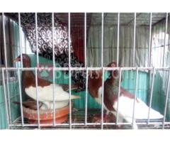 Magpie Baby Pair