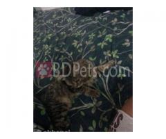 Pure breed persian kitten
