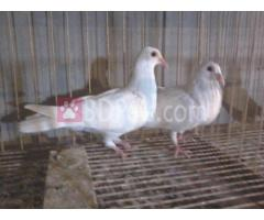 white humar 4sell
