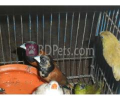Finch Bird pair