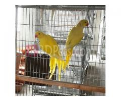 Yellow Ringneck adalt pair