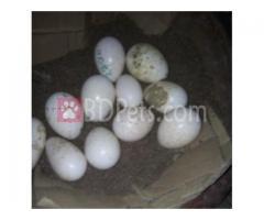 Tarki Murgi Egg