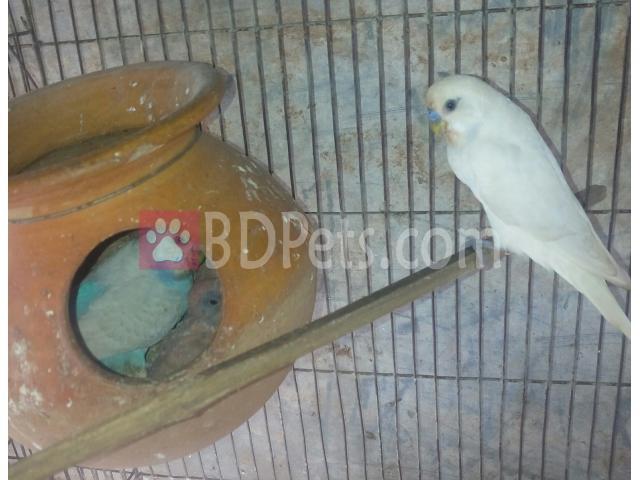 Bargrigar birds