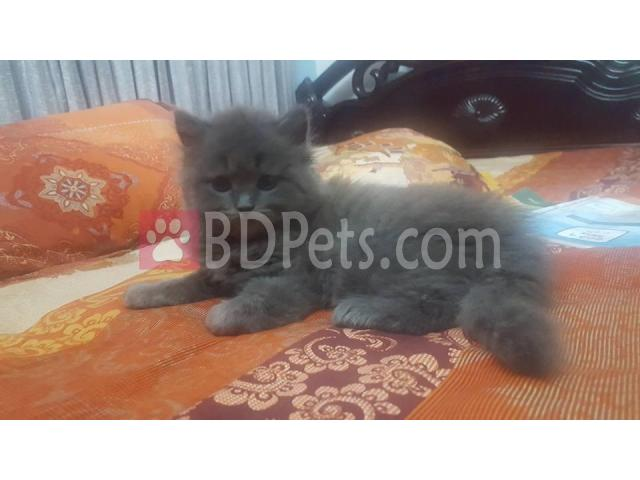 Pure breed semi punch Persian kitten