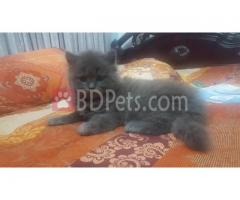 Pure breed semi punch Persian kitten