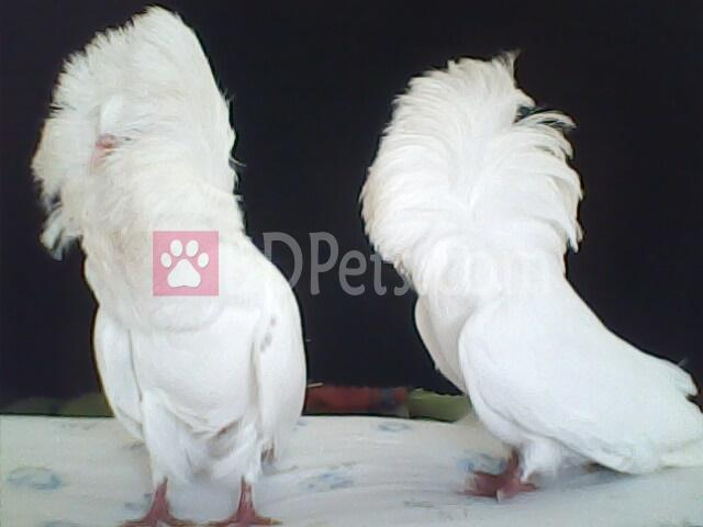 white jacobin baby pair