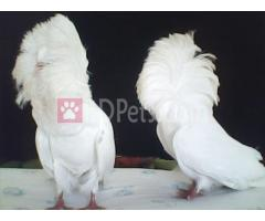 white jacobin baby pair