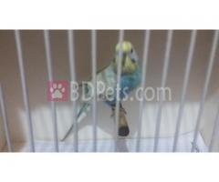 100% Adult male cw/dailut budgerigar