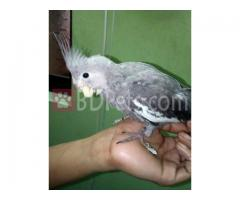 Full Hand Tame White Face Gray Cockatiel