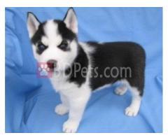 Purebred Siberian Husky Puppies