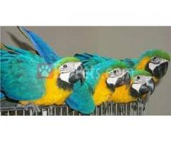 BLUE AND GOLD HYACINTH MACAWS PARROTS