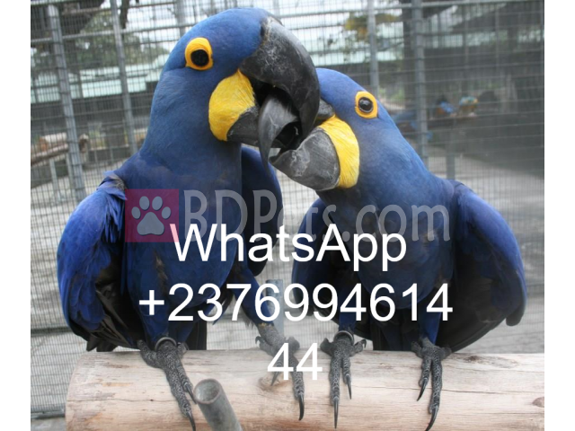 hyacinth macaws for sale whatsapp +237699461444 - BDPets com